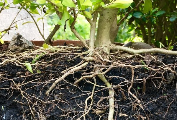 How-plants-alter-their-roots-to-adjust-to-soil-moisture--730x410
